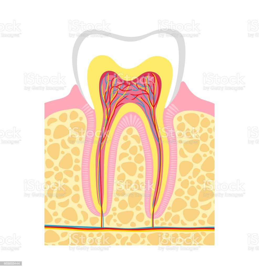 Human tooth diagram stock vector art more images of alveolus human tooth diagram royalty free human tooth diagram stock vector art amp more images ccuart Choice Image