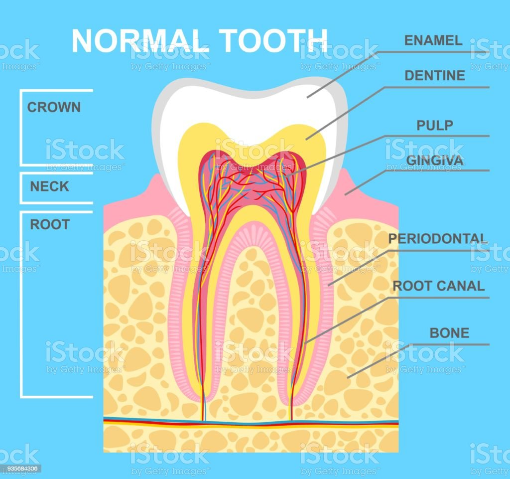 Human Tooth Diagram Stock Vector Art More Images Of Alveolus