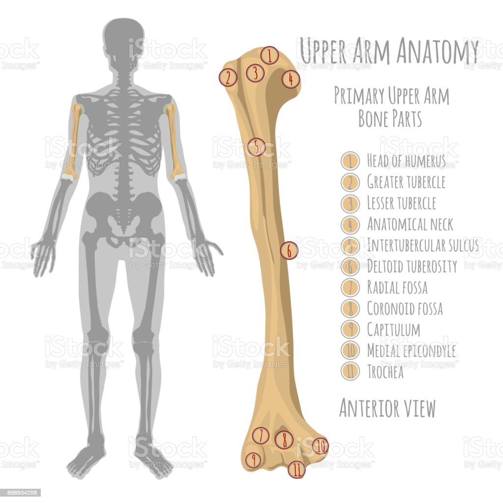 Human Upper Arm Anatomy Stock Vector Art & More Images of Anatomy ...