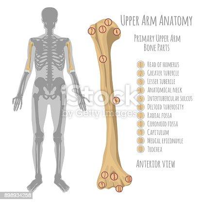 Anatomie Der Menschlichen Oberarm Stock Vektor Art und mehr Bilder ...