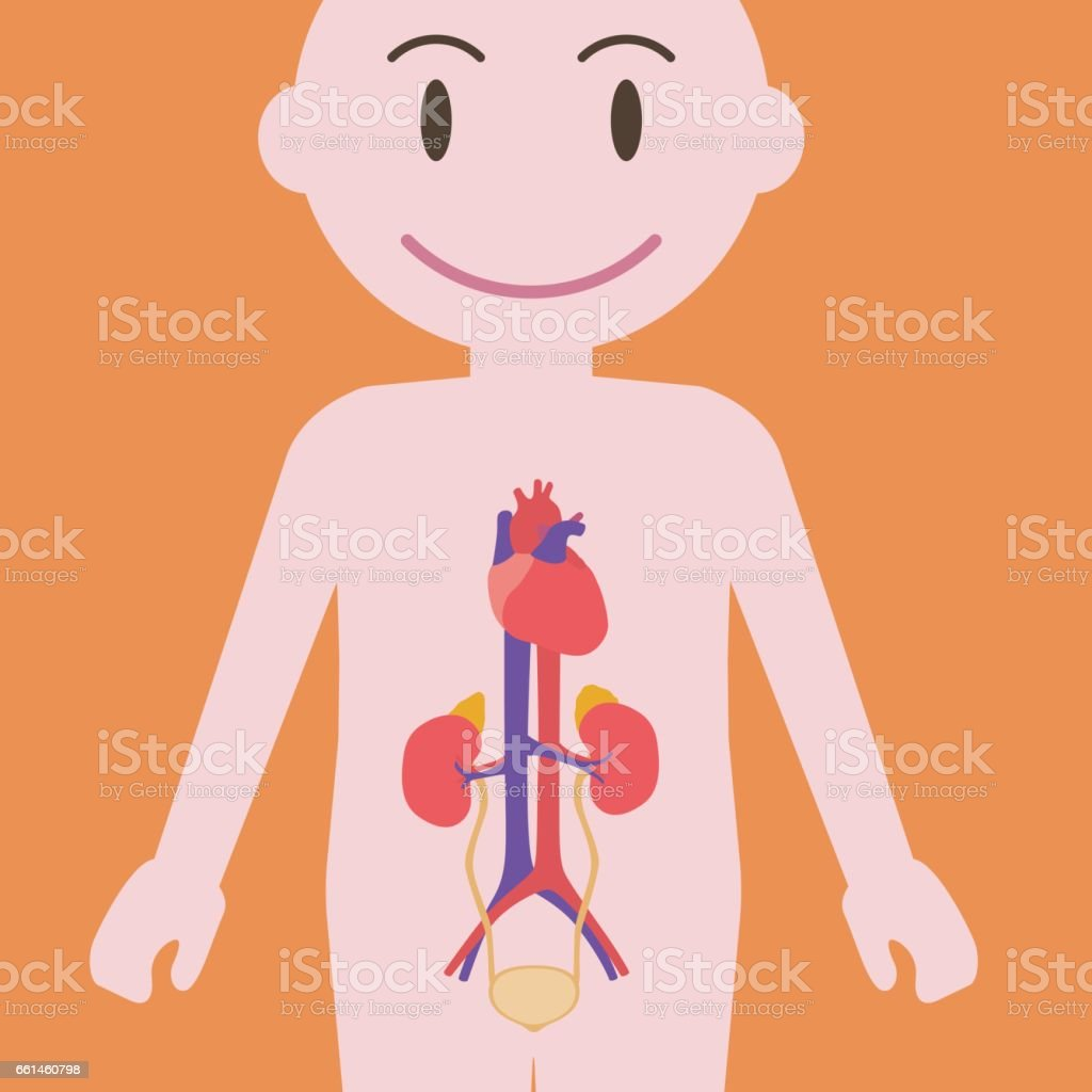 Human Urinary Organs Heart Kidney Bladder Vector Illustration Stock ...