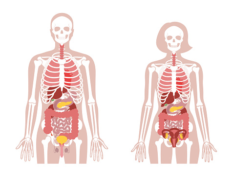 Human woman skeleton and internal organs anatomy