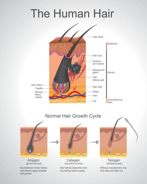 hair follicle diagram clip art royalty free hair follicle clip art, vector images ... hair rig diagram #13