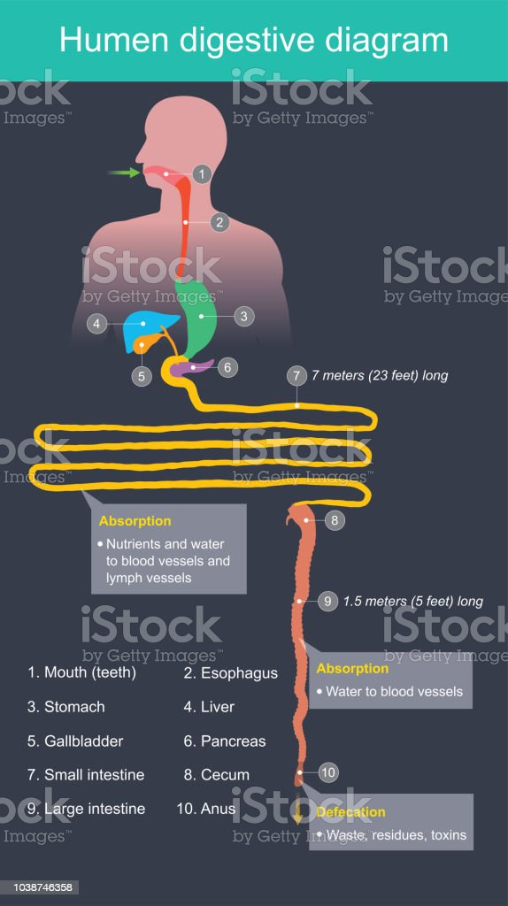 Humen Digestive Diagram Stock Vector Art More Images Of Anatomy