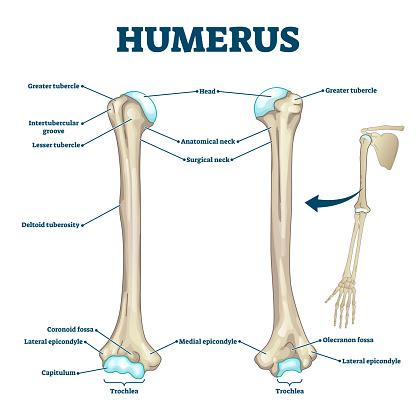 Humerus Bone Labeled Vector Illustration Diagram Stock Illustration -  Download Image Now - iStockiStock