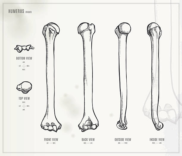 Best Humerus Illustrations, Royalty-Free Vector Graphics
