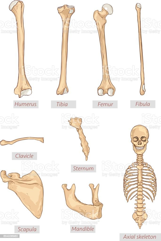 Humerus Tibia Femur Wadenbein Unterkiefer Axiale Skelett ...