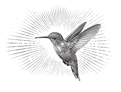 Engraving illustration of a Ruby Throated Hummingbird flying