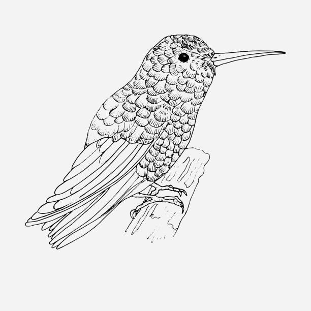 hummingbird for coloring page. bird. - coloring book pages templates stock illustrations