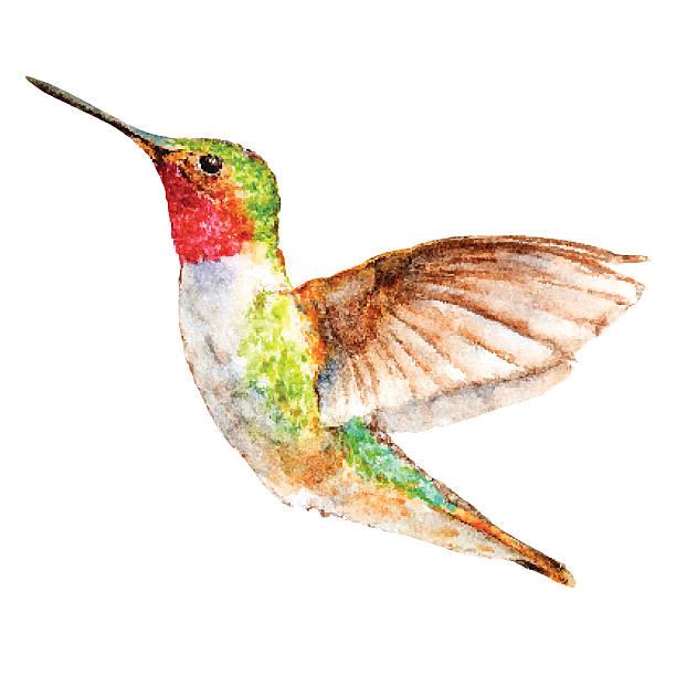 hummingbird watercolor sketch, vector illustration. - hummingbird stock illustrations
