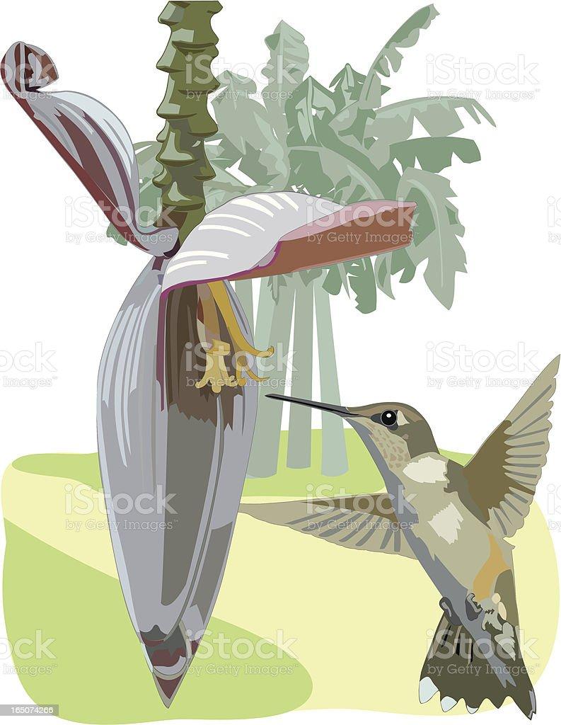 Hummingbird with Banana Blossom royalty-free stock vector art