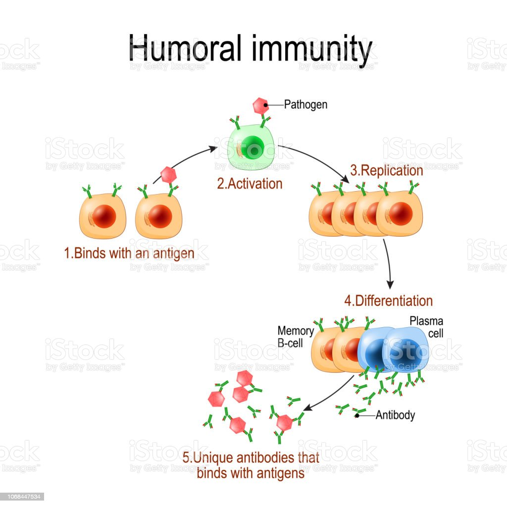 humoral immunity mediated antibody response immune cell vector system illustration diagram lymphocyte covid antigen antibodies clip autoimmune allergy cytokines illustrations