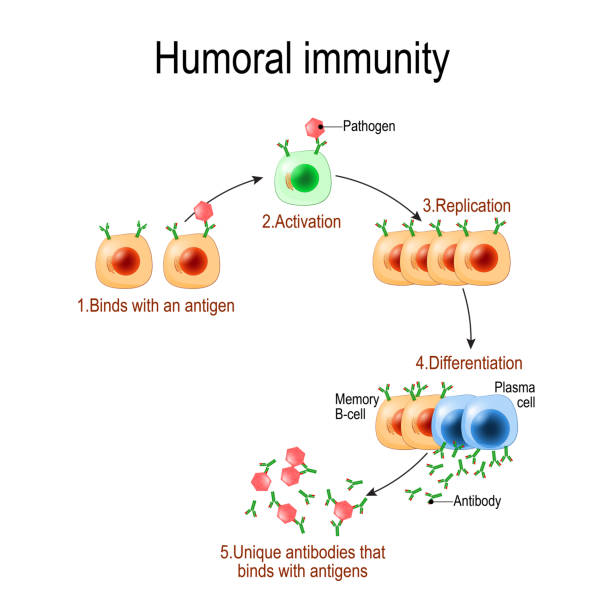 humoral immunity. antibody-mediated immunity. humoral immunity. antibody-mediated immunity. Viruse, Lymphocyte, antibody and antigen. Vector diagram for educational, biological, and science use antibody stock illustrations