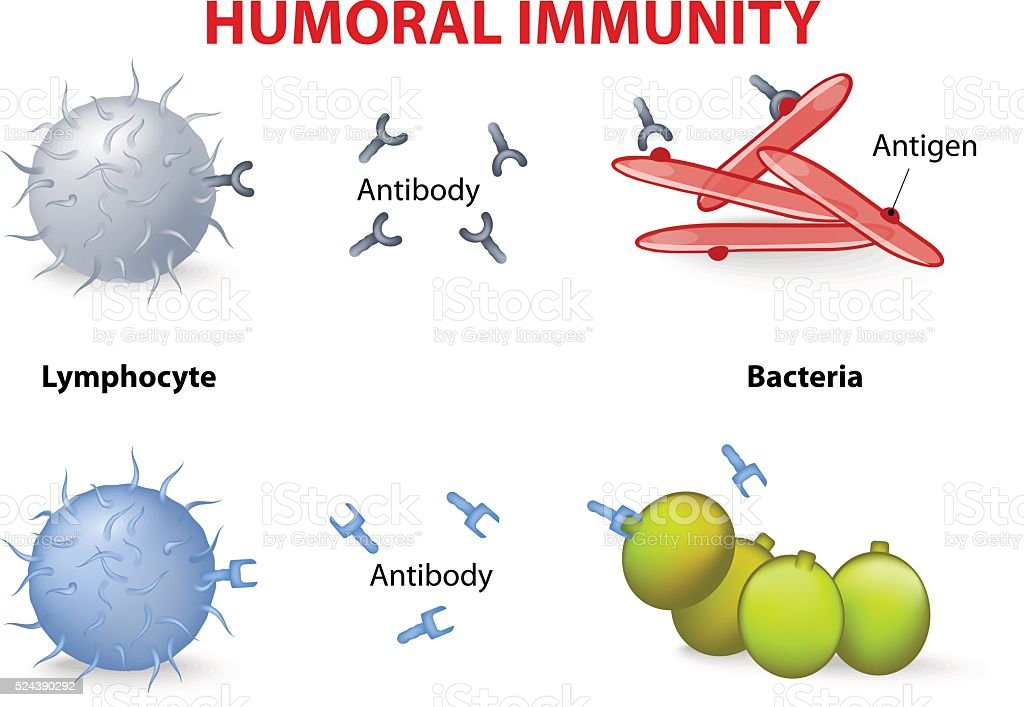 humoral immunity. vector art illustration