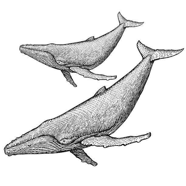 горбатый кит иллюстрация - граттаж stock illustrations