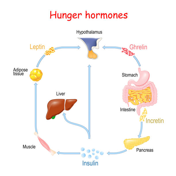 Hunger hormones (Insulin, Ghrelin, Incretin, and Leptin). Hunger hormones (Insulin, Ghrelin, Incretin, and Leptin). vector illustration for medical, educational and science use adipose tissue stock illustrations