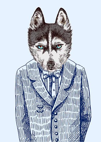 Husky in jacket.