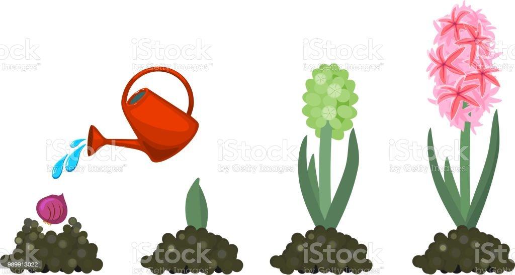 Jacinto planta reproduccion asexual de las plantas