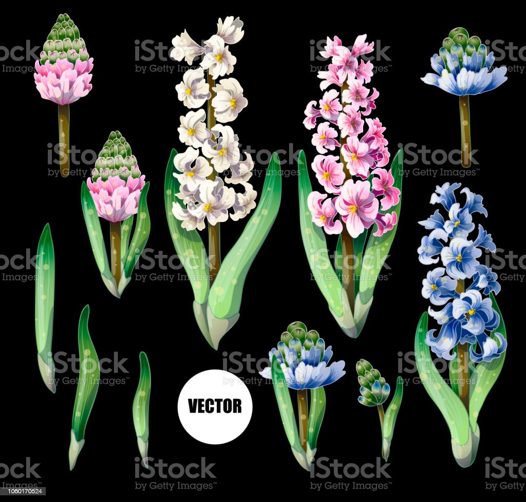 Hyacinths flowers isolated on a black background. Vector. vector art illustration