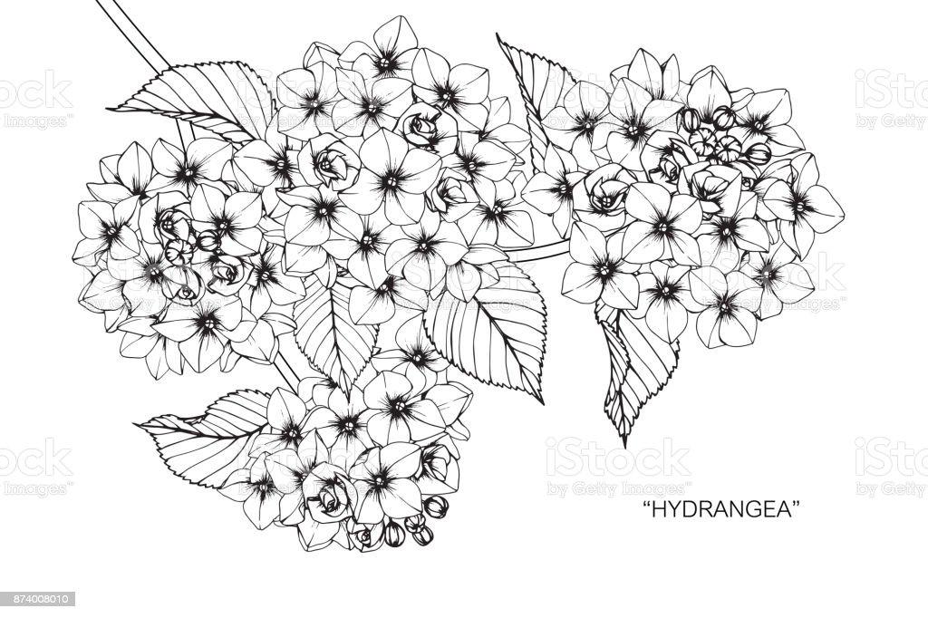 Dessin Dune Fleur Dhortensia Cliparts Vectoriels Et Plus D Images