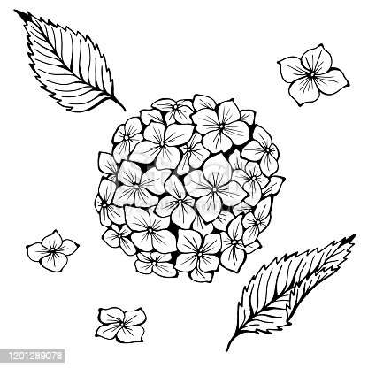 Hydrangea. Hand drawn vector. Monochrome black and white ink sketch. Line art. Isolated on white background. Coloring page.