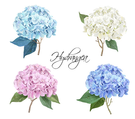 Hydrangea realistic illustration set