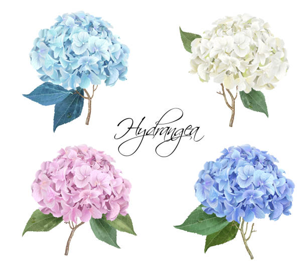 bildbanksillustrationer, clip art samt tecknat material och ikoner med hortensia realistisk illustration set - flower bouquet blue and white