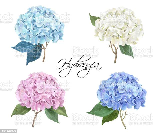 Vector highly detailed realistic illustration set of hydrangea flowers isolated on white. Can be used as wedding element, floral design for cosmetics, perfume, beauty care products, greeting cards