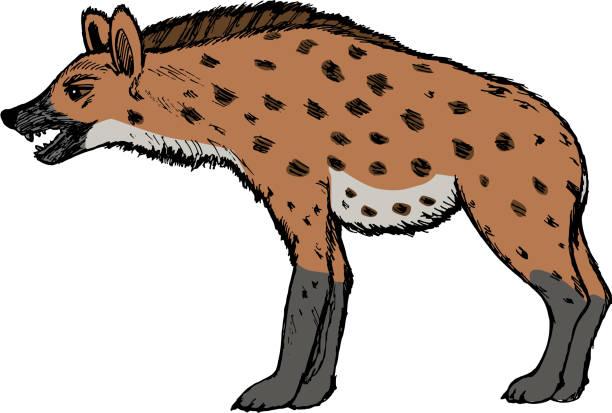 stockillustraties, clipart, cartoons en iconen met hyena, illustration of wildlife, zoo, wildlife, animal of savann - hyena