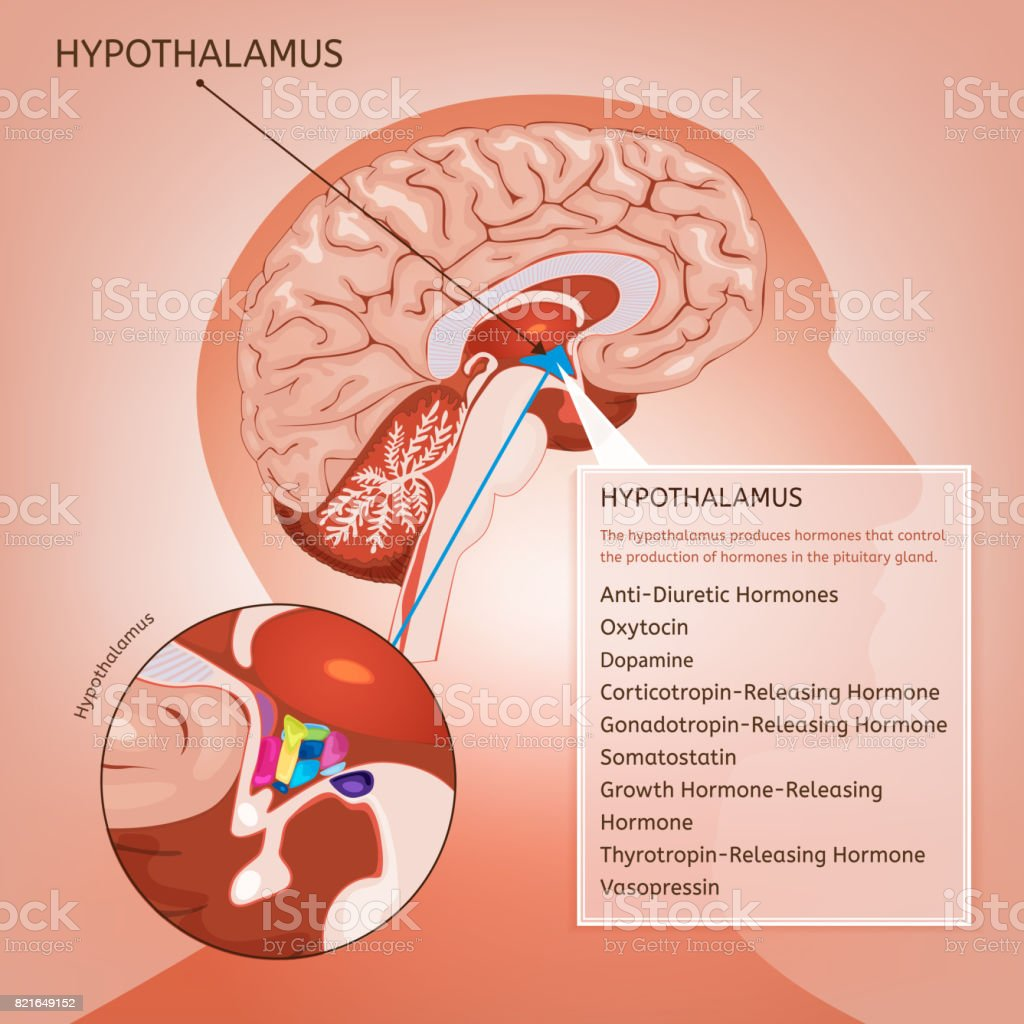 Hypothalamus Vector Image Stock Vector Art & More Images of Anatomy ...