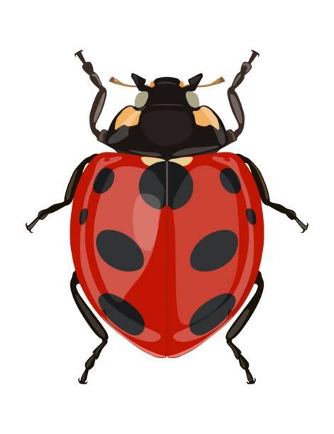 Icon painted ladybug. Beetles. Vector illustration – artystyczna grafika wektorowa