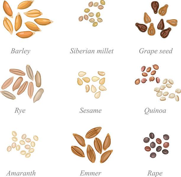 ilustrações de stock, clip art, desenhos animados e ícones de conjunto de ícones de grãos de cereais, parte 2 - quinoa