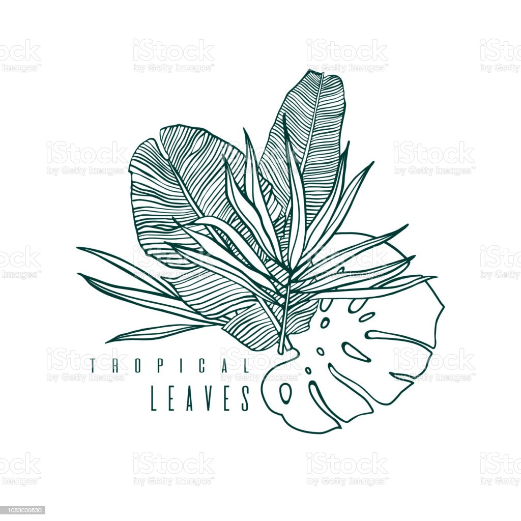 Icon With Palm Monstera And Banana Leaf Outline Drawing Of Tropical Leaves Nature Label With Exotic Foliage Vector Illustration Stock Illustration Download Image Now Istock 30 hand drawn leaves drawing. icon with palm monstera and banana leaf outline drawing of tropical leaves nature label with exotic foliage vector illustration stock illustration download image now istock