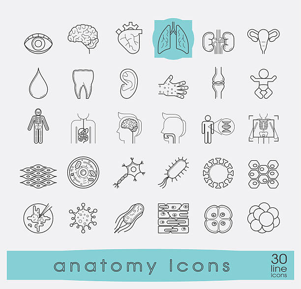 Icons presenting various organs and parts of the human body. Set of premium quality line icons. Collection of anatomy icons. Medical and science. human cell stock illustrations