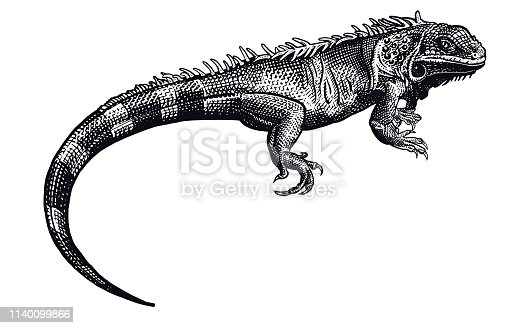 Lizard iguana isolated. Black and white reptile. Vector illustration. Hand drawing realistic. Vintage engraving of wildlife.