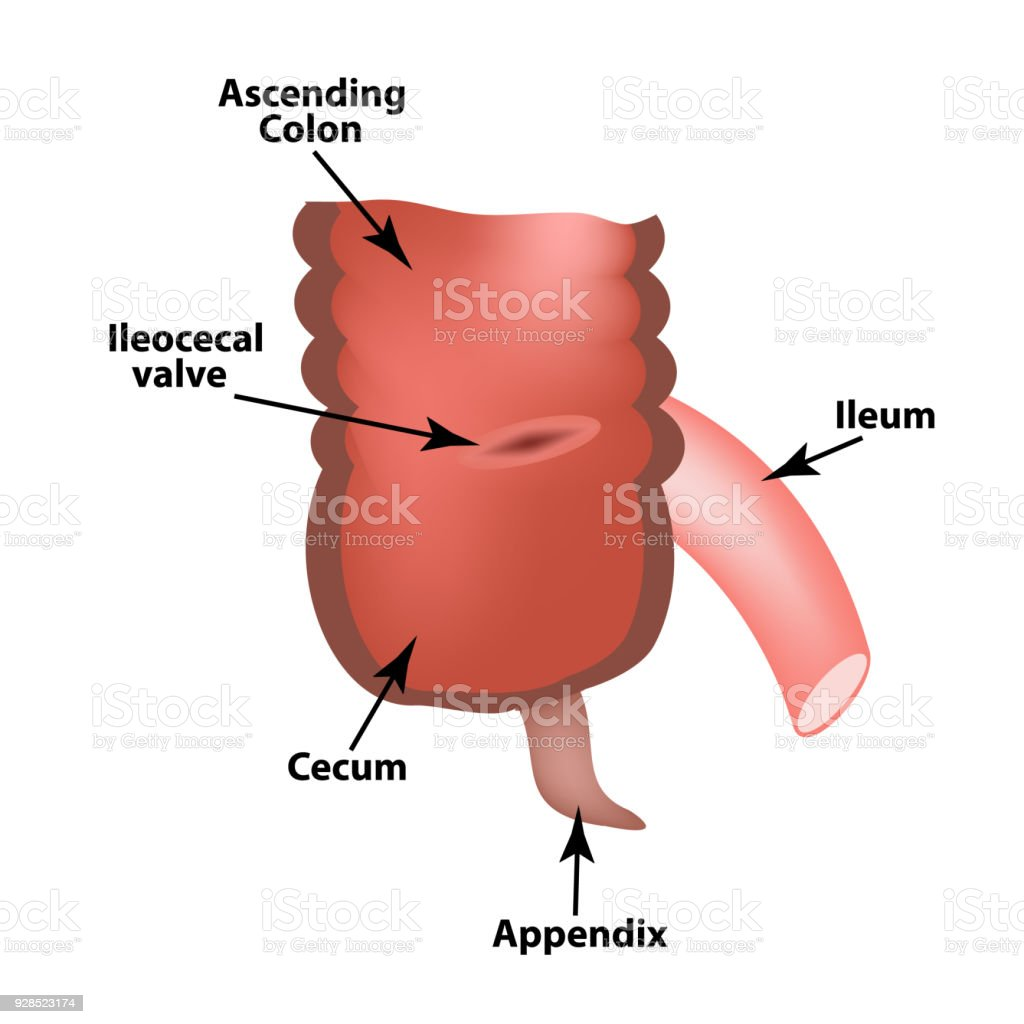 Ileocecal angle. Ileocecal valve. Bauginiev s damper. The ileum, the Cecum, the Apendix. Colon. Infographics. Vector illustration on isolated background. vector art illustration