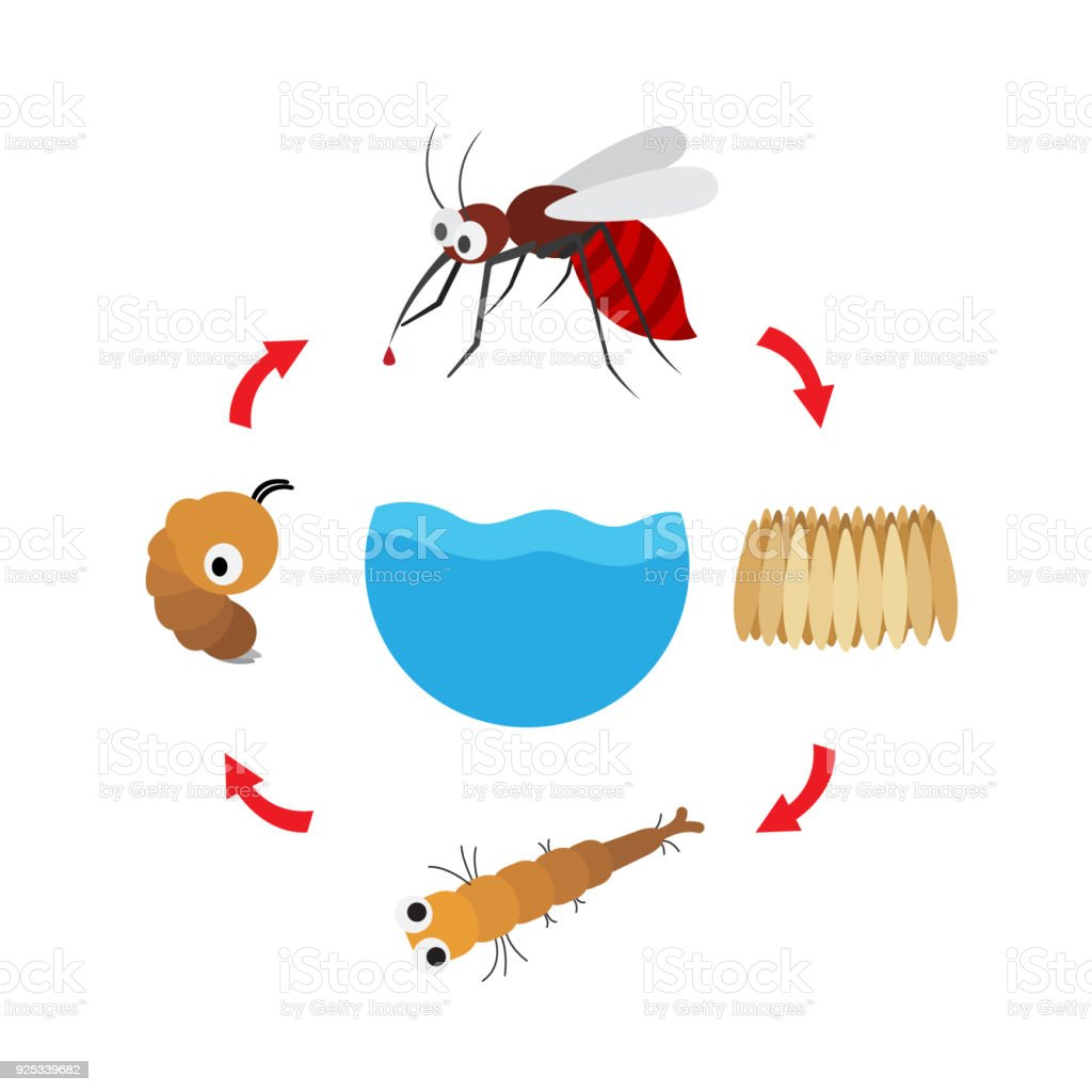illustration life cycle mosquito vector art illustration