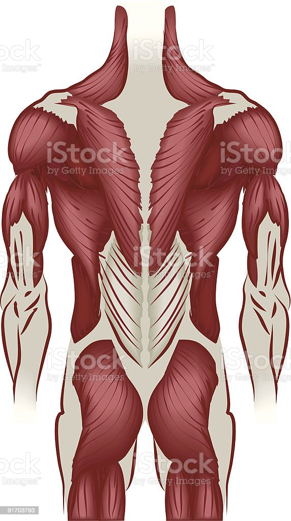 Illustration muscles of the back royalty-free stock vector art