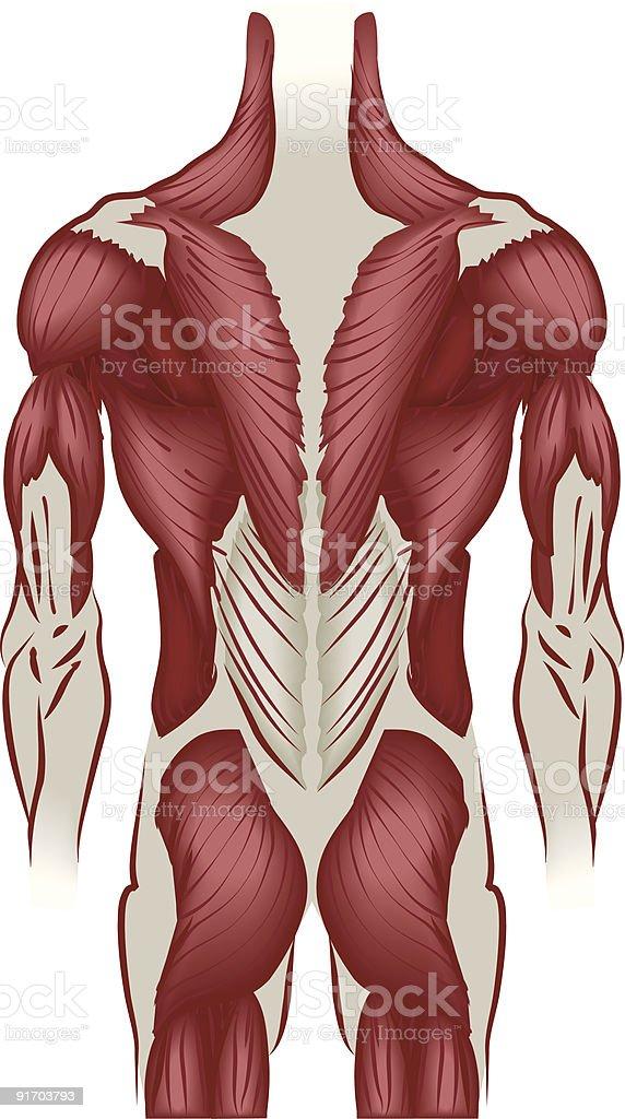Illustration Muskeln Im Rücken Stock Vektor Art und mehr Bilder von ...