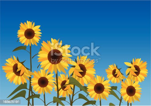 istock Illustration of a field of sunflowers against a blue sky 165625191