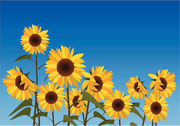 illustration of a field of sunflowers against a blue sky - sunflower 幅插畫檔、美工圖案、卡通及圖標