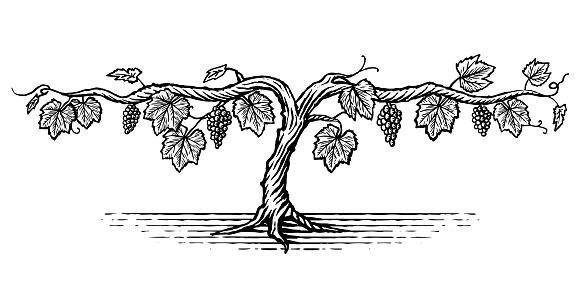 Illustration of a grape vine