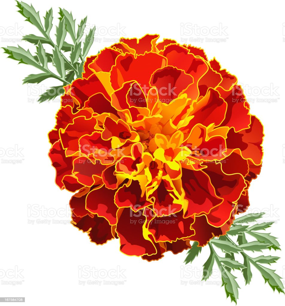 Illustration of a red and orange marigold flower royalty-free stock vector art