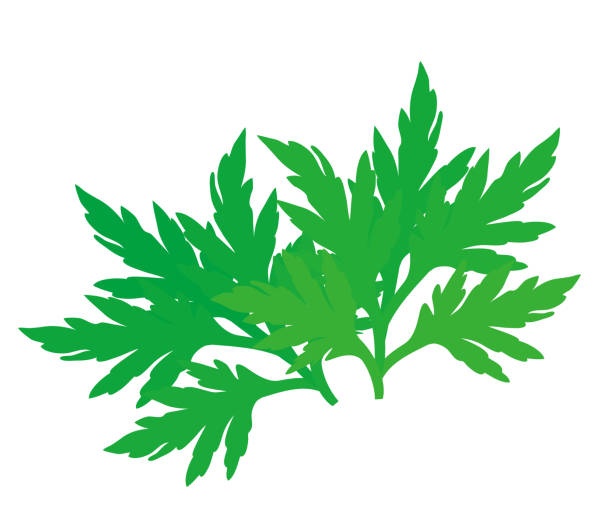 Illustration of a young wormwood leaf. vector art illustration