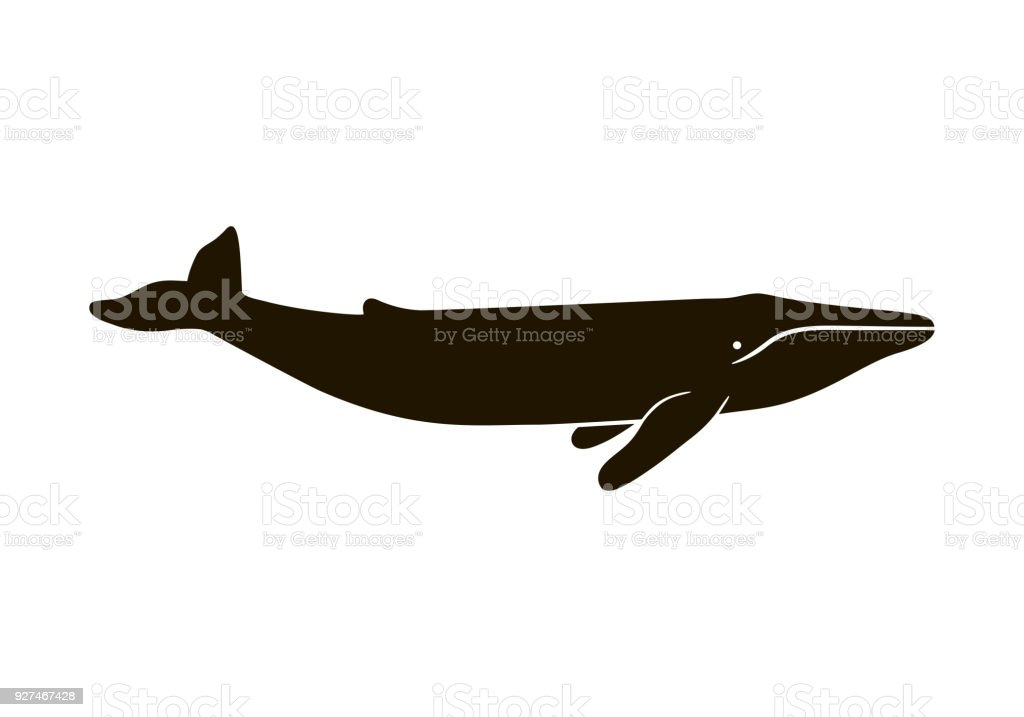 Illustration of blue whale isolated on white background. Realistic proportions