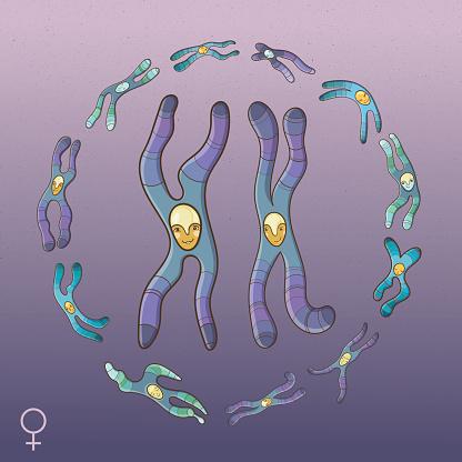 Illustration Of Chromosomes Female Genotype Stock ...
