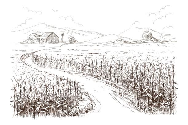 ilustrações, clipart, desenhos animados e ícones de ilustração do campo de milho grão talo sketch - corn farm