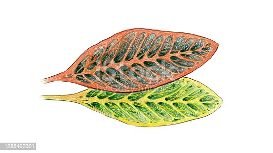 istock Illustration of Croton Plant with Yellow and Green Leaves 1288462321
