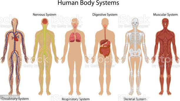 Illustration of different systems of human body vector id168723790?b=1&k=6&m=168723790&s=612x612&h=d1vfwhnx2kre3md4toynw4yoyejfluhsx6dsuqt7iuy=