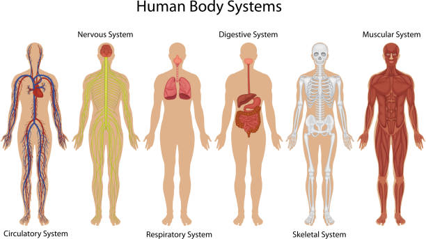 Illustration of different systems of human body Human body systems biomedical illustration stock illustrations